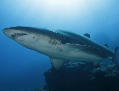 【皮肉】頻発するサメ被害はクジラの過保護が原因??  (オーストラリア)