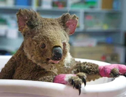 シドニーで非常事態宣言 !コアラ逃げ惑う過去最悪の豪州火災とは?